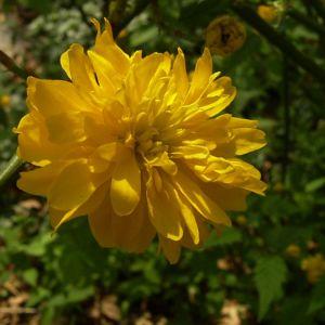 Ranunkelstrauch Bluete Kerria japonica 02