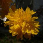 Ranunkelstrauch Bluete Kerria japonica 04
