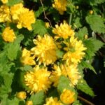 Ranunkelstrauch Kerria japonica 02