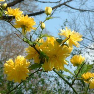 Ranunkelstrauch Kerria japonica 03