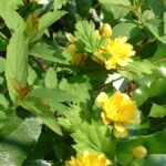 Ranunkelstrauch Kerria japonica 04