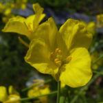 Raps Bluete gelb Brassica napus 01