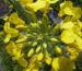 Zurück zum kompletten Bilderset Raps Blüte gelb Brassica napus