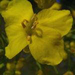 Raps Bluete gelb Brassica napus 04