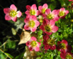 Rasen Steinbrech Bluete pink Saxifraga rosaea 02