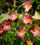 Bild:  Rasen-Steinbrech Blüte pink Saxifraga rosaea