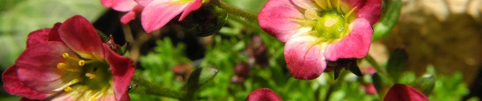 Anklicken um das ganze Bild zu sehen Rasen-Steinbrech Blüte pink Saxifraga rosaea