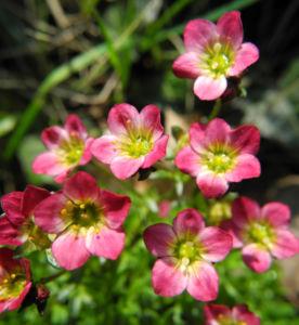 Rasen Steinbrech Bluete pink Saxifraga rosaea 06