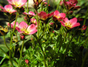 Rasen Steinbrech Bluete pink Saxifraga rosaea 09