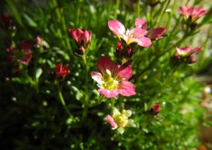 Rasen Steinbrech Bluete pink Saxifraga rosaea 10