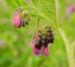 Zurück zum kompletten Bilderset Rauer Beinwell Blüte lila Symphytum asperum