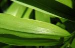 Raufruechtiges Feengloeckchen Disporum trachycarpum 01