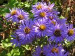 Rauhblatt Aster Bluete lila Aster novae angliae 01