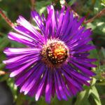 Rauhblatt Aster Bluete lila Aster novae angliae 02