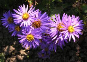 Bild: Rauhblatt Aster Bluete lila Aster novae angliae