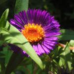 Rauhblatt Aster Bluete lila Aster novae angliae 04