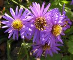 Rauhblatt Aster Bluete lila Aster novae angliae 05