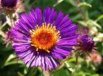 Rauhblatt Aster Bluete lila Aster novae angliae 06