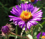Rauhblatt Aster Bluete lila Aster novae angliae 08