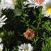 Zurück zum kompletten Bilderset Rauhblatt-Aster Blüte weiß Aster-novae angliae