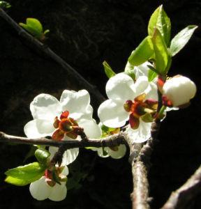 Rauhe Aprikose Baum Bluete weiss Prunus x dasycarpa 01