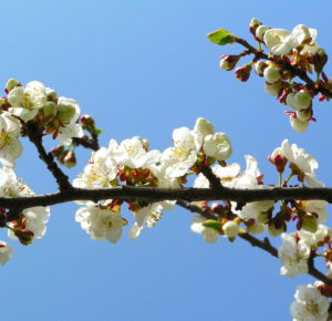 Rauhe Aprikose Baum Bluete weiss Prunus x dasycarpa 02