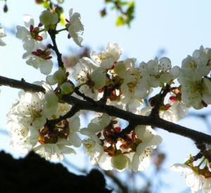 Rauhe Aprikose Baum Bluete weiss Prunus x dasycarpa 03