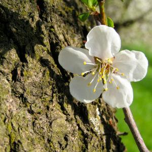 Rauhe Aprikose Baum Bluete weiss Prunus x dasycarpa 04