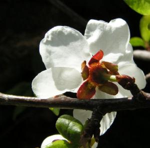 Rauhe Aprikose Baum Bluete weiss Prunus x dasycarpa 05
