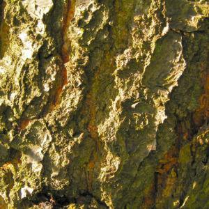 Rauhe Aprikose Baum Bluete weiss Prunus x dasycarpa 06