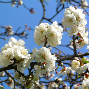 Rauhe Aprikose Baum Bluete weiss Prunus x dasycarpa 08