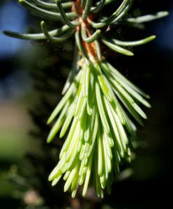 Rauhe Fichte Baum Nadeln gruen Picea asperata 01