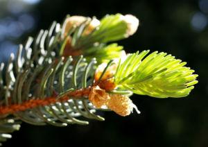 Rauhe Fichte Baum Nadeln gruen Picea asperata 02