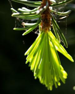Rauhe Fichte Baum Nadeln gruen Picea asperata 04