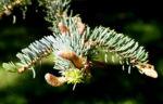 Rauhe Fichte Baum Nadeln gruen Picea asperata 05