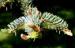 Zurück zum kompletten Bilderset Borsten-Fichte Baum Nadeln grün Picea asperata