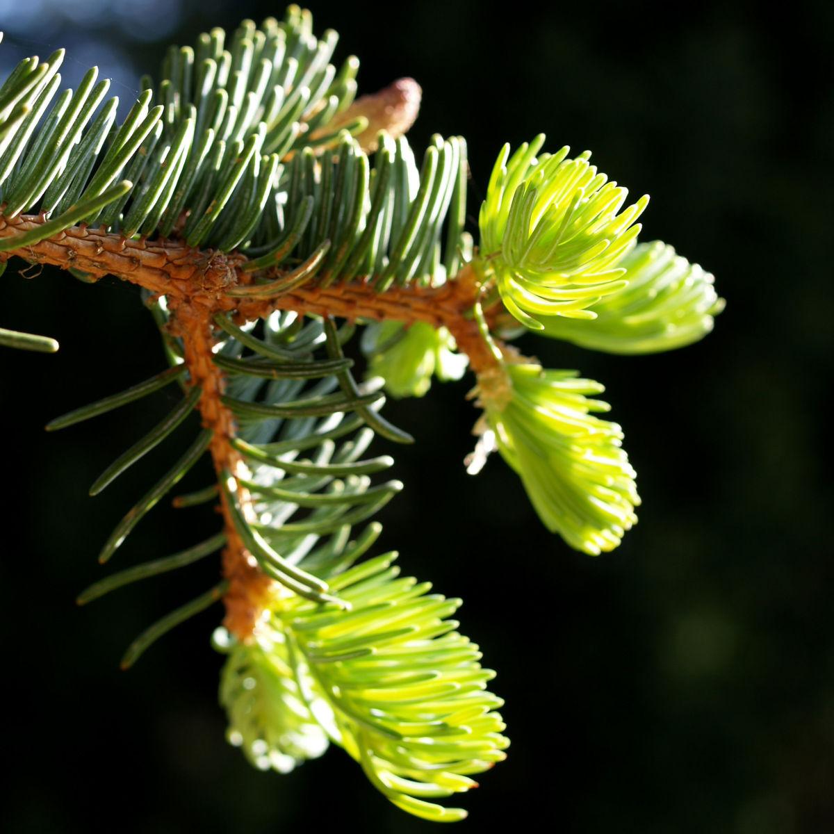 Rauhe Fichte Baum Nadeln gruen Picea asperata