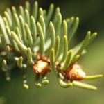 Rauhe Fichte Nadel gruen Picea asperata 01