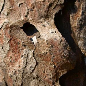 Rauhe Fichte Nadel gruen Picea asperata 02