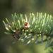 Zurück zum kompletten Bilderset Rauhe Fichte Nadel grün Picea asperata