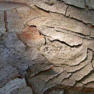 Rauhe Fichte Nadel gruen Picea asperata 06