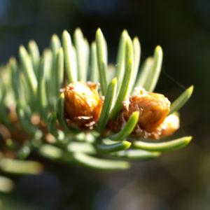 Rauhe Fichte Nadel gruen Picea asperata 07