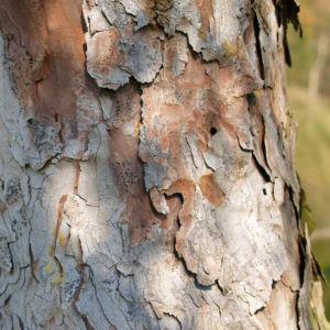 Rauhe Fichte Nadel gruen Picea asperata 08