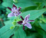 Rauhe Kroetenlilie Bluete lila Tricytis hirta 01