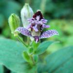 Rauhe Kroetenlilie Bluete lila Tricytis hirta 02