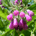 Rauher Beinwell Bluete lila Symphytum asperum 01