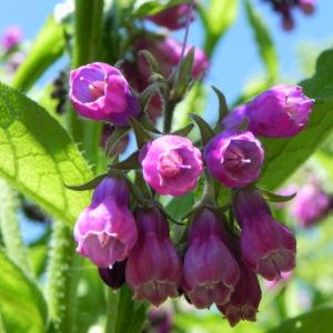 Rauher Beinwell Bluete lila Symphytum asperum 03