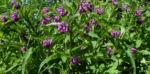 Bild: Rauher Beinwell Blüte lila Symphytum asperum