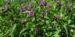 Zurück zum kompletten Bilderset Rauher Beinwell Blüte lila Symphytum asperum