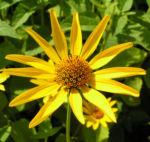 Rauhes Sonnenauge Bluete gelb Heliopsis helianthoides 01